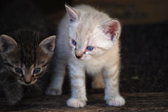 Kittens Stock Image