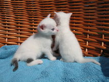 Kittens. Two small white kittens in a basket Stock Photos