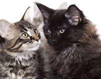 Kittens. Two beautiful Maine Coon kittens Stock Photo