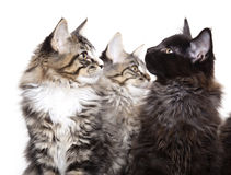 Kittens. Three beautiful Maine Coon kittens Royalty Free Stock Photos