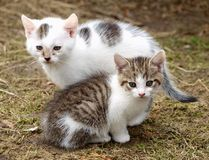 Free Kittens Stock Images - 13685154