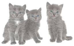 Kittens. Royalty Free Stock Photo