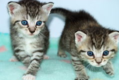 Kittens. Two baby kittens with blue eyes, striped fur, walking together, aqua blanket royalty free stock images