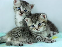 Kittens. Two kittens on soft aqua blanket, one laying down and one sitting up, blue eyes, heads cocked curiously stock image