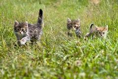 Kittens. Fluffy kittens on a green grass Stock Images