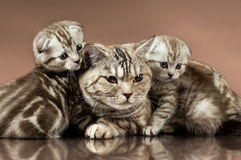 Kittens. Family group of two  beautiful kitten with mother, breed scottish-fold,  lie on brown  background Royalty Free Stock Photos