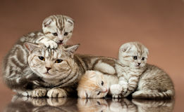 Kittens. Family group of three  beautiful kitten with mother, breed scottish-fold,  lie on brown  background Stock Photo