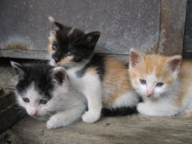 Kittens. Three cat siblings sitting together Royalty Free Stock Images