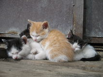 Kittens. Four sleeping cat siblings laying together Royalty Free Stock Images