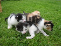 Kittens. Four cat siblings in the grass Royalty Free Stock Photography