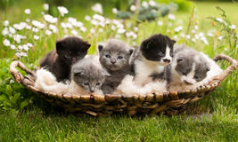 Free Kittens Royalty Free Stock Photo - 40556035