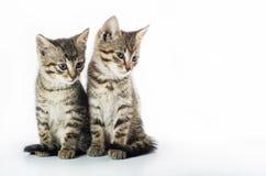 kittens Fotografia Stock