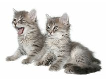 Kittens. Royalty Free Stock Image
