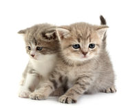 The kittens Royalty Free Stock Image