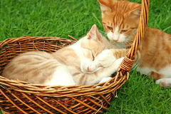 Kittens. Beautiful tawny and red kittens in the baskets Stock Images