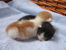 Kittens. Two small kittens in the basket Stock Images