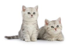 Kittens. Two little kittens isolated over white Stock Photos
