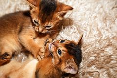Kittens of Abyssinian cat lying on a fur blanket. royalty free stock image