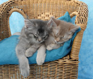 Kittens asleep on a chair. 10 week old somali kitten siblings asleep on a wicker chair Stock Photos