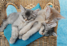 Kittens asleep on a chair. Somali kitten sibling asleep on a chair stock photo