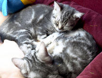 The kittens are asleep. Little gray kittens sweetly sleep with each other Royalty Free Stock Images