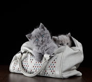 Kittens in a bag Royalty Free Stock Image