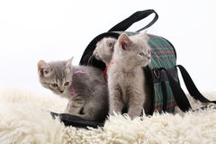 Kittens in a bag for transport to a white background. Royalty Free Stock Images