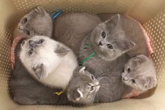 Kittens in a bag for transport to a white background. Royalty Free Stock Image