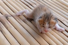 Brown-white kittens. Kittens on a bamboo floors ,Kittens are leaning to walk royalty free stock images