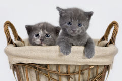 Kittens in a Basket Royalty Free Stock Image
