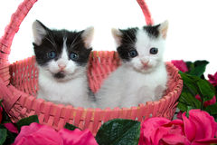Kittens in a basket. Royalty Free Stock Photos