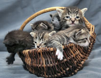 Kittens in a basket Royalty Free Stock Images
