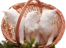 Kittens in a basket. Three white kittens in a basket. The kittens, turned a back, in a basket decorated with fur-tree branches Royalty Free Stock Image