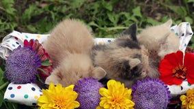Kittens in basket stock video footage