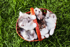 Kittens in the basket Royalty Free Stock Photography