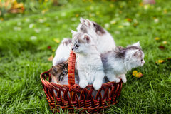 Kittens in the basket Stock Photography