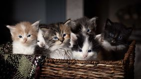 Kittens in a basket. With sepia tone Stock Photos