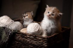 Kittens in a basket. With sepia tone Royalty Free Stock Photo