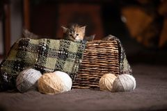 Kittens in a basket. With sepia tone Stock Photography