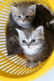 Kittens in the basket Royalty Free Stock Images