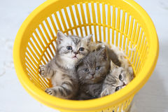 Kittens in the basket Royalty Free Stock Image