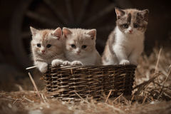 Kittens in a basket Stock Images