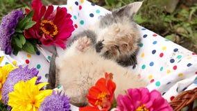 Kittens in basket stock footage