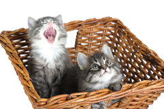 Kittens in basket Stock Image