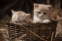 Kittens in a basket Royalty Free Stock Photo