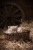 Kittens in a basket Royalty Free Stock Photos