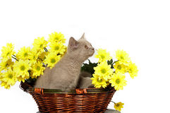 Kittens in basket with yellow flowers Royalty Free Stock Images
