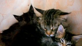 Kittens and big cat kisses And Licking together stock video