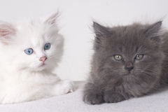 Kittens black and white Royalty Free Stock Photos