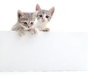Kittens with blank. Royalty Free Stock Photo